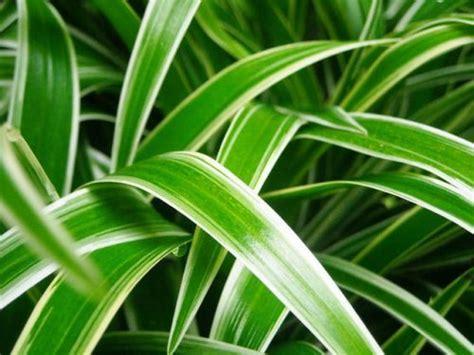 tanaman hias daun gardeningid