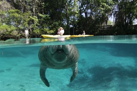 Manatee Records Florida Biologists Report Record Manatee Count Kayak Fish