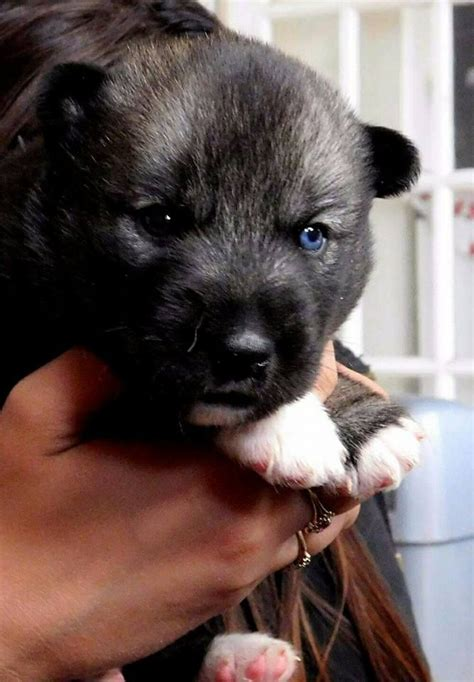 agouti husky puppies for sale kc registered agouti siberian husky puppy for sale scunthorpe lincolnshire pets4homes