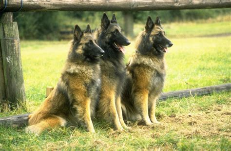 belgian shepherd puppies three belgian shepherd tervuren dogs photo and wallpaper beautiful three belgian