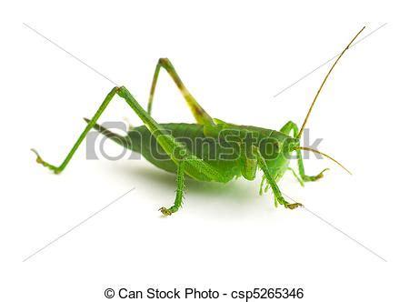 imagenes de saltamontes verdes stock de imagenes de saltamontes verde saltamontes