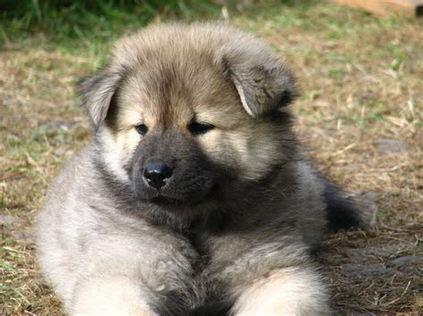 puppy pictures eurasier puppy photo and wallpaper beautiful eurasier puppy pictures