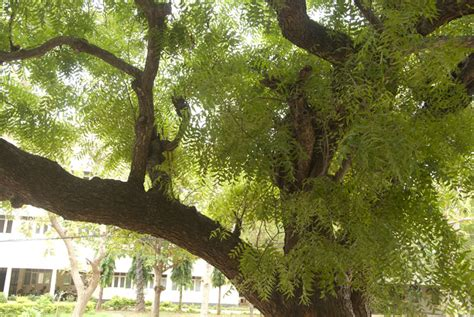 Neem Tree Essay by Essay On Neem Tree In Marathi Poem