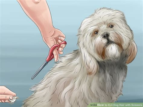 how to cut a shichon s hair how to cut a shichon s hair how to cut dog hair with