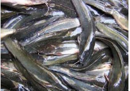 Pakan Ikan Lele Hemat laterminalmirror budidaya dan beternak terlengkap