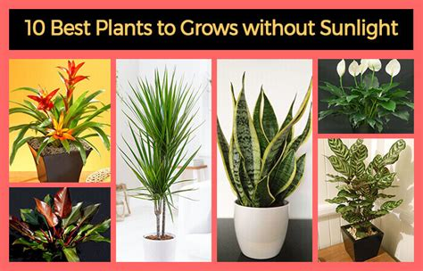 best indoor plants for no sunlight 10 best plants that grows in shade without sunlight at