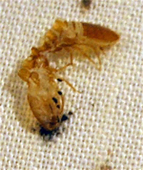 bed bug exoskeleton pictures pictures of bed bugs on mattress