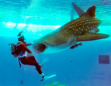 newest kid fish for christmas shark approaches photos the big picture boston