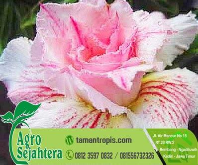 Tempat Jual Bibit Bunga Kamboja jual bibit bunga adenium pink