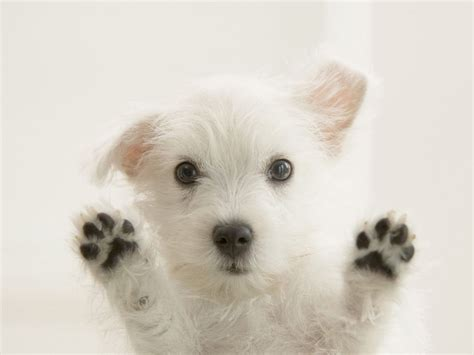 west highland white terrier puppy west highland white terrier looking at you photo and wallpaper beautiful
