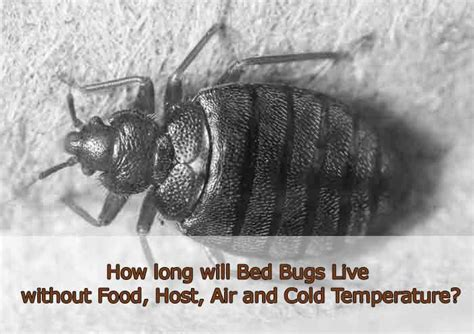 How Can Bed Bugs Live Without A Host how do bed bugs live without food host air in cold