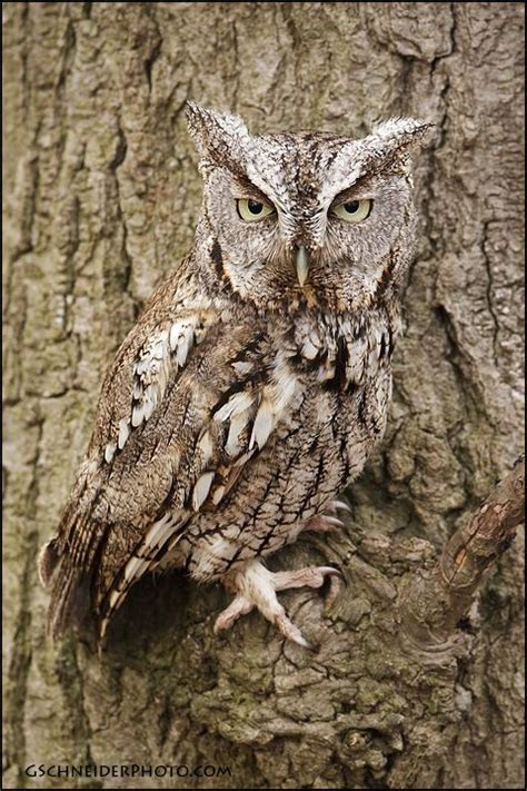 wisconsin owls identification 101 best images about birds of wisconsin on bird identification backyard birds and
