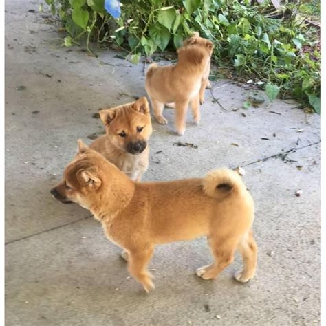 shiba inu puppies for sale near me 110 best images about puppies for sale near me on chihuahuas shar pei