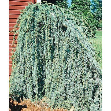 shop 8 75 gallon weeping blue atlas cedar feature tree l8098 at lowes com