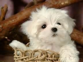 Maltese Puppies Cuddly Fluffy Maltese Puppy Puppies Photo 13986024