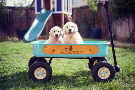 golden retriever puppies for sale in southern california golden retriever puppies for sale in orange california ca golden breeds picture