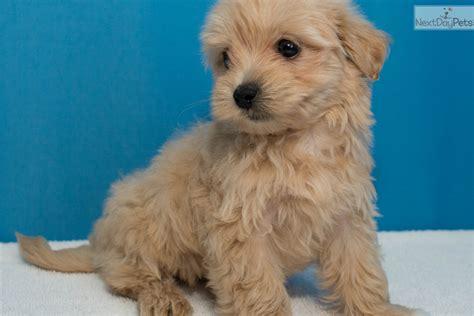 malshipoo puppies puppy malti poo maltipoo puppy for sale near mcallen edinburg cc2a7724 84b1