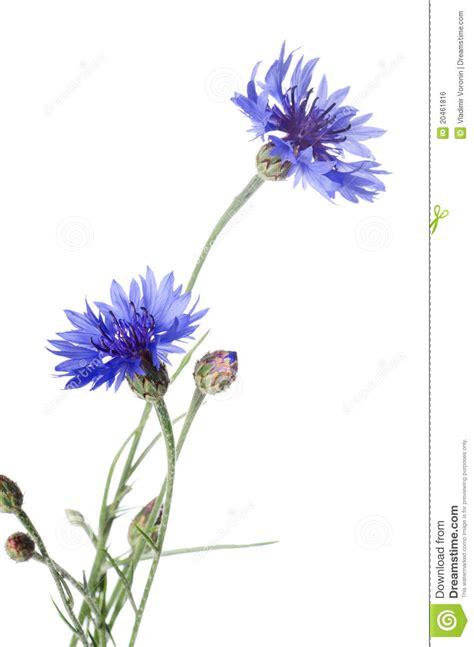 cornflower blue beautiful blue cornflower stock photo image of leaf