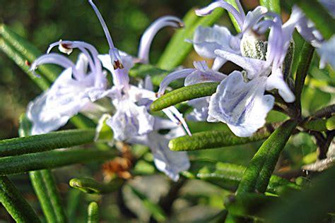fiori di rosmarino rosmarino brotture