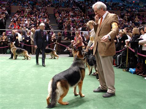 german shepherd show file german shepherds wkc dogshow jpg
