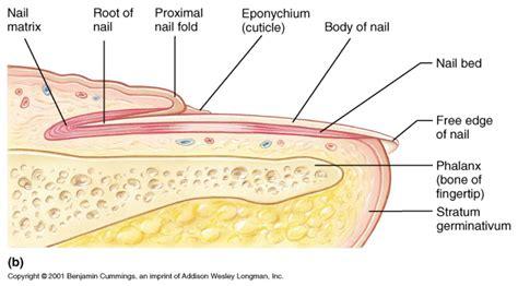 fingernail diagram cupidon nails