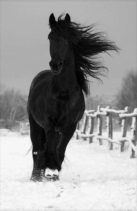 44 best images about FRIESIAN HORSES on Pinterest