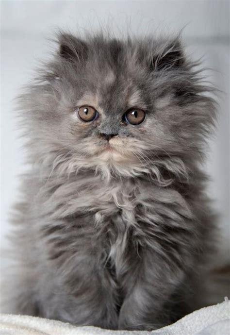 Le chat persan en 67 photos qui vous feront aimer cette