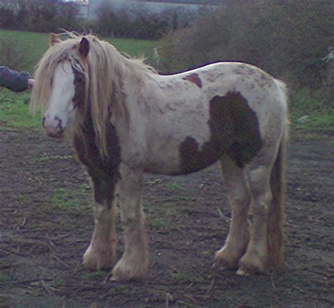milly s muse if wishes were horses rosie english cob skewbald horsecaring 5