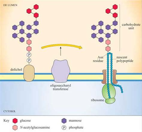 protein glycosylation intracellular transport 4 3 glycosylation sequences and