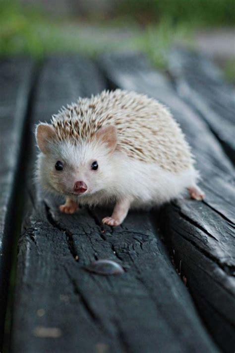 pygmy hedgehog so darn cute pinterest