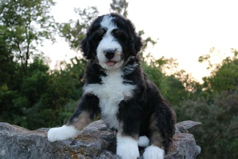 tiny bernedoodle puppies for sale bernedoodle puppies for sale