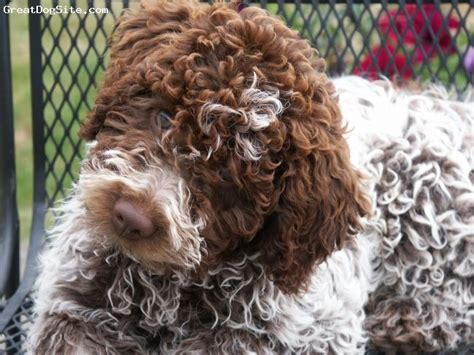 lagotto puppies 14 best images about puppy on portuguese water true and