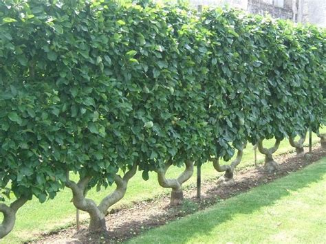 espalier fruit trees images
