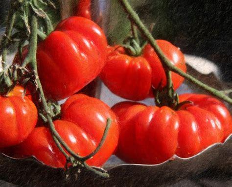 Biji Benih Buah Tomat 150 Isi 2 Biji benih tomato marmande 7 biji non retail bibitbunga