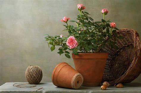 rosa in vaso plantando rosas em vasos fazf 225 cil