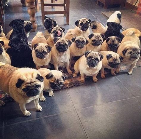 a grumble of pugs 164 best images about pug on pug watches and the pug