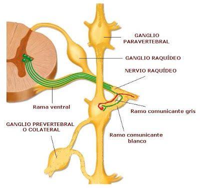 cadena ganglionar simpatica cervical ciencias biologicas anatomia y fisiologia del sistema