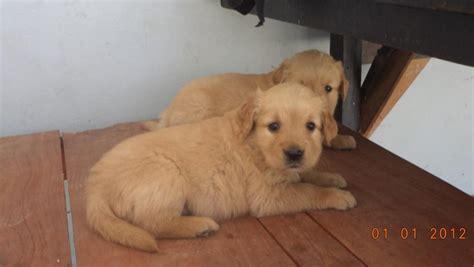 golden retriever buy delhi golden retriever puppies for sale rajesh 1 12732 dogs for sale price of puppies