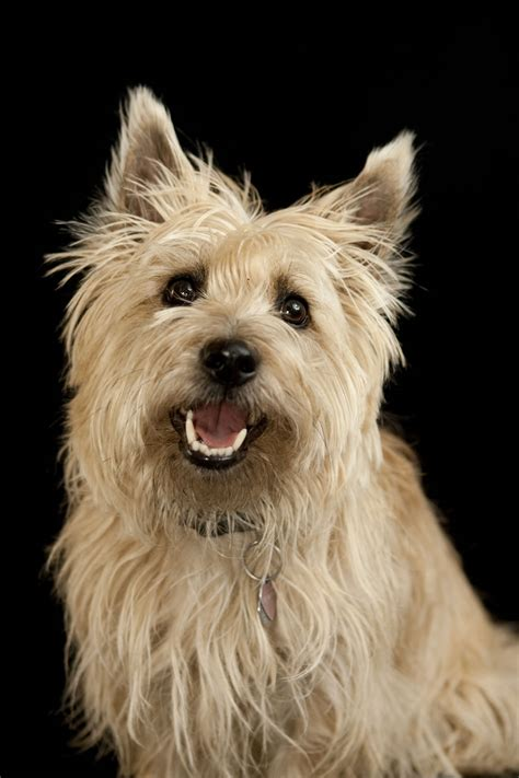 cairn terrier breed information pet365