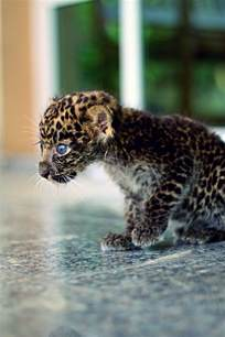 Baby Jaguar Roar Baby Jaguar Go Diego Go Info On Jaguars Thinglink