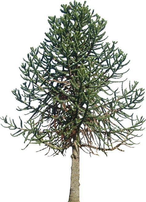 Evergreen Tree Clip by Free Evergreen Tree Free Clip Free Clip