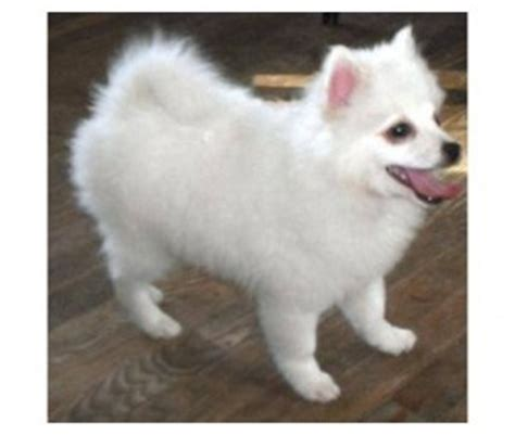 how big do pomeranian puppies get pomimo american eskimo pomeranian mix breed dogable