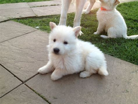white puppy white german shepherd www imgkid the image kid has it