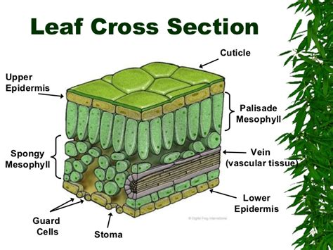 label the cross section of a leaf plants for moodle