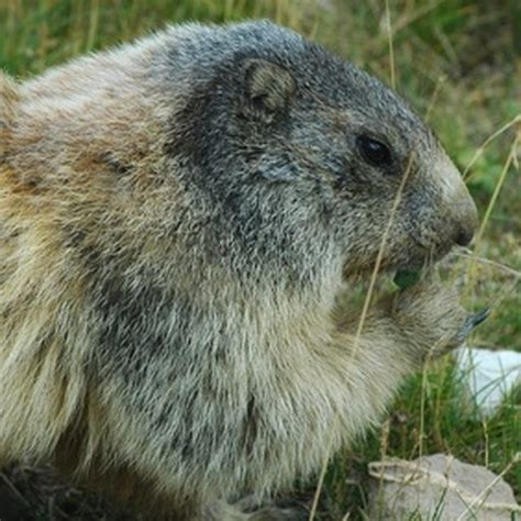getting rid of rabbits in backyard how to use glycerin to get rid of groundhogs ruins and yards