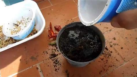 semina peperoncino in vaso come piantare il peperoncino in vaso