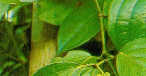 Bibit Tanaman Lada Perdu cv mitra bibit kelebihan menanam tanaman lada perdu