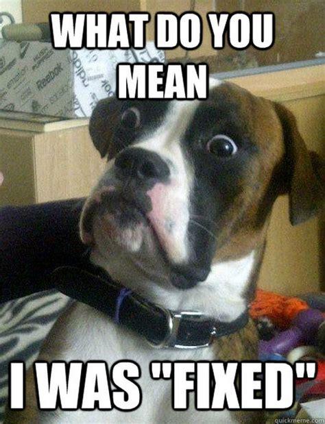 Boxer Dog Meme - 16 funny baffled boxer memes 16 pics daily fun pics