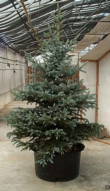 2017 christmas trees care for living trees planttalk