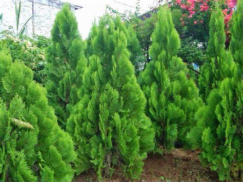Tanaman Hias Cemara Norflok jual aneka pohon cemara norfolk lilin kipas angin